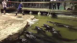 Gator Trainer Dives Headfirst into Gator-Filled Pool - Video