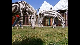 Zoo Turns Donkeys Into Zebras