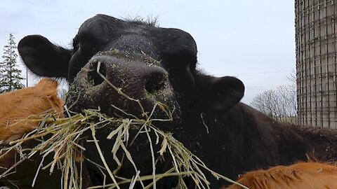 Gigantic bull comically stuffs his face with hay