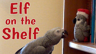 Talking parrot chats to the Elf on the Shelf