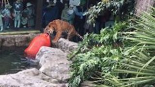 Clever Tiger Drags Huge Buoy From Water - Video
