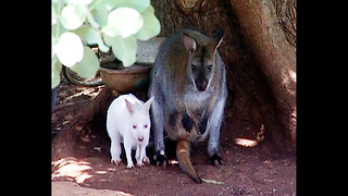 Rare White Baby Wallaby - Video
