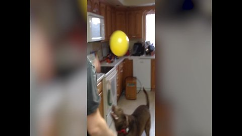 This Dog Loves to Play with Balloons