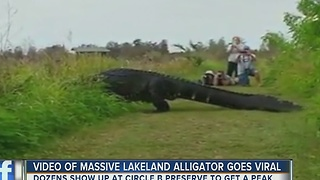 Video of massive gator goes viral - Video