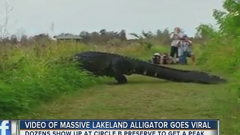 Video of massive gator goes viral