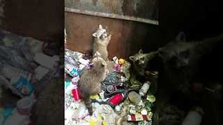 Good Samaritan Helps Baby Raccoons Escape From Dumpster - Video