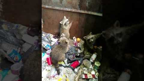 Good Samaritan Helps Baby Raccoons Escape From Dumpster
