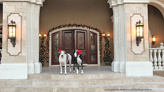 Max and Katie the Great Danes Christmas Tour of Casa Bella Estate  - Video