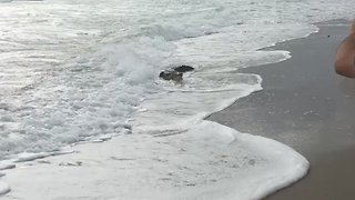 Rare American Crocodile Goes for a Swim in Shallow Surf of Hollywood Beach - Video