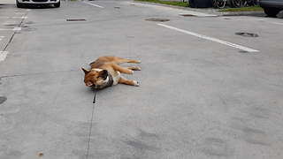 Stubborn Shiba Inu refuses to go home - Video