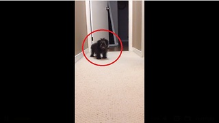 Shih Tzu puppy finally finds his bark - Video