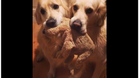 Polite dogs gently share their favorite toy