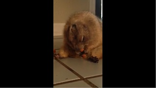 Overweight prairie dog munches on a carrot