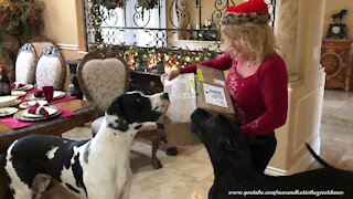 Excited Great Danes go digging through Christmas gifts