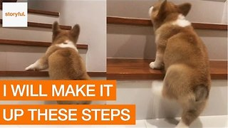 Corgi Dog's First Attempt Climbing the Stairs - Video