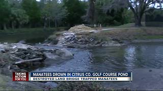 Manatees drown in Citrus Co. golf course pond - Video