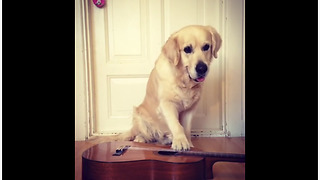 Golden Retriever learns to play the guitar