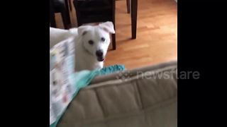 This dog is hilariously terrified of inanimate objects - Video