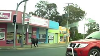 Cow Escapes Local Abattoir, Runs Through Caboolture Traffic - Video