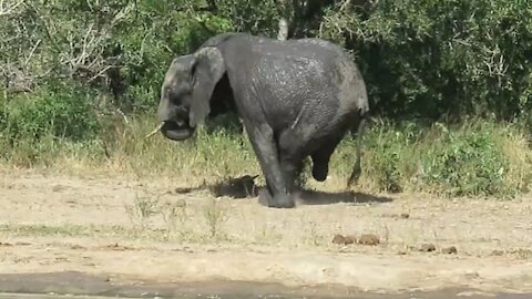 Elephant amazingly manages to walk with only three legs