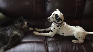 Dalmatian puppy desperately attempts to befriend cat - Video