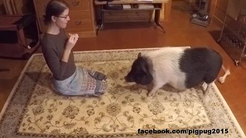 Pig displays array of tricks to musical commands