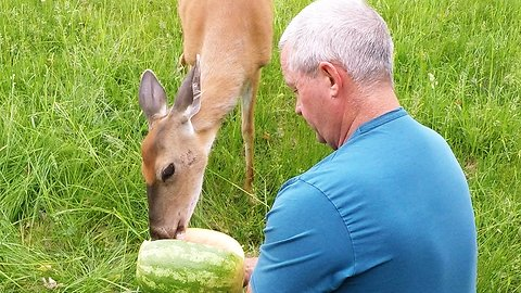 Wild deer thoroughly enjoys being hand fed watermelon