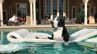 Max and Katie the Great Danes Enjoy a May 17 2017 Swim  - Video