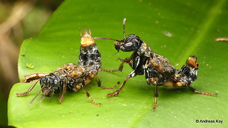 Courtship of rove beetles in Ecuador rainforest