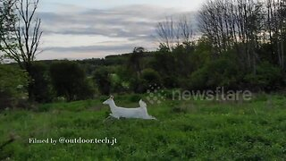 Beautiful footage of a rare albino deer spotted in Pennsylvania