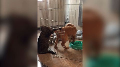 Sneaky Cat Can't Stop Swatting At This ADORABLE Puppy