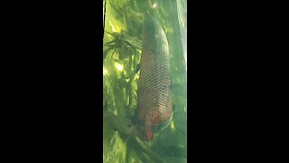 Largest Freshwater Fish from South America - Arapaima