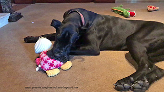Funny Great Dane Puppy Loves Playing With Her Toys  - Video