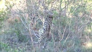 Clumsy leopard cub falls out of tree - Video