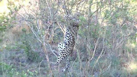 Clumsy leopard cub falls out of tree