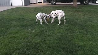 Dalmatians rumble it out on the yard!  - Video