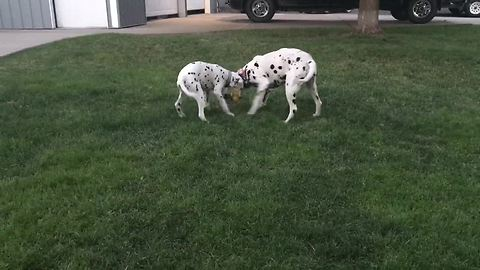 Dalmatians rumble it out on the yard!