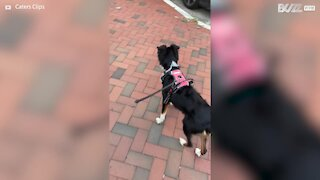 Dog howls like ambulance siren
