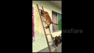 Clever dog climbs ladder - Video