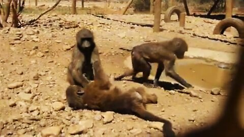 Rescued baby baboons playing