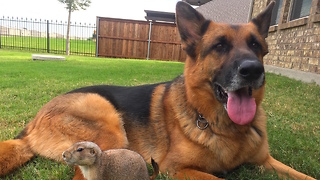 Adorable Prairie Dog Befriends German Shepherd - Video