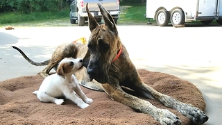 Cute puppy vs Great Dane