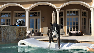 Funny Great Dane jumps on to her pool floatie - Video