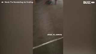 Owner's arrival home gets delighted dog dancing
