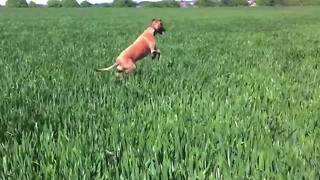 Excited Dog Jumps Through Field Of Tall Grass In Kangaroo Style