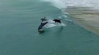 Drone Footage Shows Dolphin Pod Surfing the Waves - Video