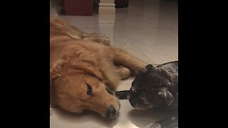 Gentle and loving puppy truly admires senior dog
