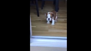 Bulldog puppy frustrated by 'big' step