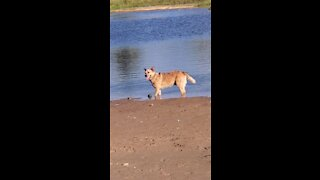 Dog digs up huge rock just to drop it in the lake