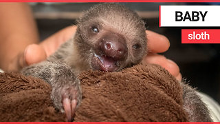 A zoo has announced the birth of their first sloth | SWNS TV